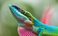 Kurze Pause beim Essen (ellen-ow) Tags: anolis echsen karibik kuba reptilien schuppenechsen trinidad tier animal lizard bunt farbig