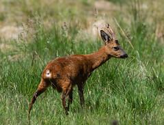 Roe Deer Stag 30-06-2018-1223 (seandarcy2) Tags: deer roe cairngorm uk wildlife animals wild stag