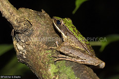 41370 Hose's Rock frog (Odorrana hosii) by a stream in lowland rainforest, near Ipoh, Perak, Malayisa. IUCN=Least Concern. (K Fletcher & D Baylis) Tags: wildlife animal fauna amphibian frog ranidae treefrog greentreefrog hose'sfrog hosesrockfrog poisonousrockfrog odorranahosii lowlandrainforest leastconcern perak malaysia asia june2018 hosesfrog