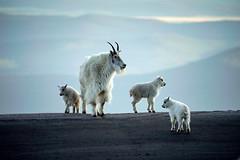 Mountain Goat Kids (Bernie Duhamel) Tags: mountaingoat kid kids colorado coloradowildlife wildlife sonya9 sonyfe100400mm frontrange greatphotographers teamsony rockymountains mountevans bernie duhamel