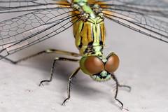 Forward Lean (Cropped) - _TNY_3688C (Calle Söderberg) Tags: macro canon canon5dmkii canoneos5dmarkii 5d2 canonef100mmf28usmmacro raynox dcr250 flash meike mk300 glassdiffusor vietnam phuquoc insect dragonfly yellow trollslända odonata diplacodes trivialis chalkypercher skimmer groundskimmer bluegroundskimmer libellulidae segeltrollslända libellulidea obelisk eyes redeyes stubble beard bearded hair hairy wings clearwings compoundeyes mercuryphuquocresortvillas phalerata braminea f16