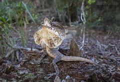 Frill-necked Dragon (Chlamydosaurus kingii) near Rainbow Beach Queensland Australia (jasonsulda) Tags: frill necked dragon chlamydosaurus kingii reptile lizard nature wildlife fauna rainbow beach queensland australia