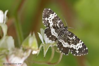 Spear-marked Black Moth