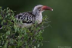 Red-billed Hornbill (leendert3) Tags: leonmolenaar southafrica krugernationalpark wildlife nature birds redbilledhornbill ngc npc