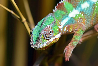 leopard kameleon (Furcifer pardalis / Panther Chameleon / Pantherchamäeleon)
