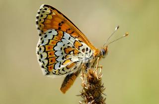 Glanville Fritillary - Melitaea cinxia