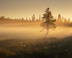 Koppången II (Gustaf_E) Tags: dalarna dimma forest koppången landscape landskap morgon mosse myr naturreservat orsafinnmark pine skog sommar sverige sweden tall träd tree woods