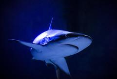 Shark at Shreveport Aquarium (photographyguy) Tags: shreveportaquarium aquarium shark louisiana water shreveport