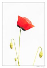 High key poppy... (crispin52) Tags: poppy klaproos rood bloem flower red highkey nikon