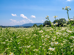 field of flowers (Dave_Bradley) Tags: flowers field landscape sky blue mountain pennsylvania usa olympus outdoor nature scenic clouds trees green