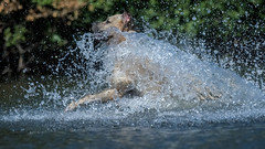 getting your water wings (Paul Wrights Reserved) Tags: dog dogs water splash splashing fun animal animals animalantics pet pets action actionphotography