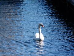 in the limelight - Helsingör (achatphoenix) Tags: wildlife dk dänemark danmark december juni wasser water eau aqua nordseeland zealand northzealand schwan swan cygne
