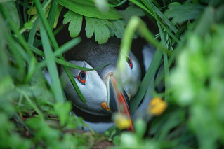 Playing Hide and Seek with A Huffin Puffin