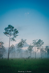 Lower Green Swamp Nature Preserve (J. Parker Natural Florida Photographer) Tags: florida hillsboroughcounty tampabay dawn morning foggy ethereal landscape scenic hike hiking trail park lowergreenswampnaturepreserve greenswamp field pine naturalbeauty nature centralflorida vscofilm vsco