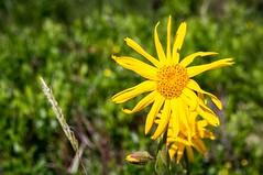Col de las Fouzès (Ariège) (PierreG_09) Tags: coldelasfouzès ariège pyrénées pirineos couserans montagne flor flore fleur plante arnica auluslesbains arnicadesmontagnes arnicamontana