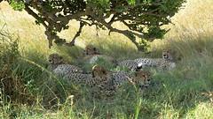 The famous 5 (John Kok) Tags: kenya masaimara enaidura june2018 cheetah acinonyxjubatus nikkor7020028evr2