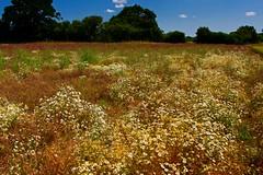 Gresham (A Picture Of Norfolk) Tags: gresham bessingham sustead northnorfolk summer countryside landscape wildflowers field farm daisies rural
