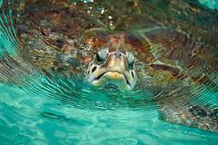 Sea Turtle - Cancun Mexico (Bernie Duhamel) Tags: seaturtle cancun mexico ocean sea greatphotographers teamsony bernie duhamel water splash action sunshine sun sonyfe100400mm sonya9