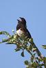 Eastern TowheeA53F1465 (~ Michaela Sagatova ~) Tags: dundasvalley birdphotography canonphotography easterntowhee michaelasagatova