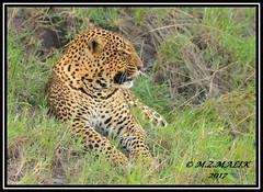 LEOPARD (Panthera pardus) ...MASAI MARA.....SEPT 2017 (M Z Malik) Tags: nikon d800e 400mmf28gedvr kenya africa safari wildlife masaimara keekoroklodge exoticafricanwildlife exoticafricancats flickrbigcats leopard pantheraparduc