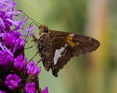 Silver-Spotted Skipper - Butterfly (jimbobphoto) Tags: skipper butterfly moth flower fluffy purple