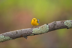 Angry Birds?... (DTT67) Tags: prothonotary warbler canon 1dxmkii 500mm 14xtciii nature wildlife maryland