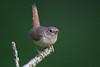 House WrenA53F2085 (~ Michaela Sagatova ~) Tags: dundasvalley birdphotography canonphotography housewren michaelasagatova wren