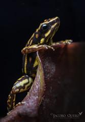 Rana dardo de Darwin Wallace/ Darwin Wallace poison frog (Epipedobates darwinwallacei) (Jacobo Quero) Tags: ranadardodedarwinwallace darwinwallacepoisonfrog epipedobatesdarwinwallacei herping amphibia anfíbio wildlife nature naturaleza ecuador mindo cloudforest