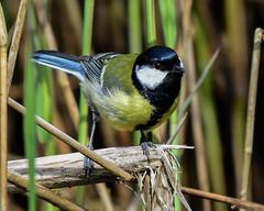 Great Tit Silverdale RSPB F00283 D210bob DSC_1707 (D210bob) Tags: f00283 d210bob dsc1707 greattit silverdalerspb nikond7200 lancashire birdphotography birdphotos leightonmoss naturephotography naturephotos nikon nikon200500f56 rspb wildlifephotography