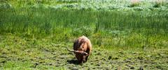 Countryside (P. Burtu) Tags: sweden sverige cow cattle ko nötkreatur summer sommar landet landskap landscape country landsbygd väsbygård gård farm järvafältet sollentuna nature natur djur