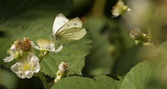 GreenVeined (Tony Tooth) Tags: nikon d7100 nikkor 55300mm butterfly insect greenveinedwhite pierisnapi countryside wildlife manifoldvalley ecton staffs staffordshire staffordshiremoorlands