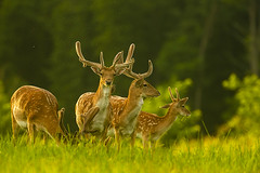 Graceful stags (adambotond) Tags: stags fallowdeer deer damadama dámvad animal ruminant deers stag outdoor somogy stvsz goldenhour grass forest adambotond magyarország hungary europe graceful summer canon canoneos1dx canonef400f4doisiiusm canonefextender2xiii nature naturephotography wildlife wildlifephotography wild wilderness wildanimal