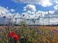 Summer now!!! (Tobi_2008) Tags: sommer summer feld field himmel sky pflanzen plants blumen flowers wolken clouds deutschland germany allemagne germania abigfave