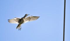 Upland Sandpiper (Kremlken) Tags: sandpipers prairie grassland pymatuning sgl birds birding nikon500 birdsinflight
