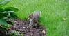 DSC_0119 (gavzter) Tags: squirrel woods nut wildlife wild wildlifephotography fur grass food soil