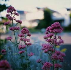 Santa Clara (bior) Tags: 120 mediumformat hasselblad500cm provia provia100f fujifilmprovia slidefilm 6x6cm santaclara square flowers wildflowers