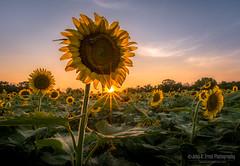 Sunflower Sunset (jcernstphoto) Tags: sunflowers sunset maryland flowers sunstar mckeebeshers field