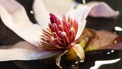 Magnolia blooms (Greenstone Girl) Tags: magnoliastellate white pink stamens raindrops translucent stellata