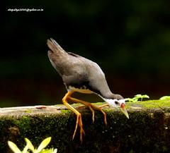 IMG_6350 White-breasted Waterhen (Amaurornis phoenicurus) (vlupadya) Tags: greatnature animal bird aves fauna indianbirds whitebreasted waterhen amaurornis kundapura karnataka