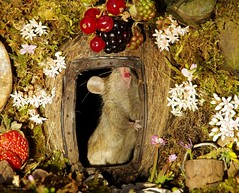 George the mouse in a log pile house standing at door (2) (Simon Dell Photography) Tags: noticed mouse base garden tree built him small log pile gave it door now 3 mice have moved pop out daily pose for photo we called male george his wife mildred cute animal wild wildlife nature moss logs wood summer flowers berrys berries rodent uk england old english country cards posters fun funny awesome detail close up tame simon dell photography sheffield shirebrook valley s12
