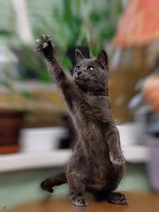 We Are The Champions !!! (Kerenskys) Tags: cat cats pet nikon d300s