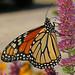 Monarch - Danaus plexippus, Meadowood Farm SRMA, Mason Neck, Virginia