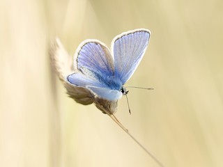 Common Blue catching some early morning rays.