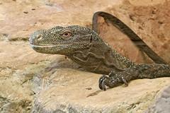 Crocodile Monitor - Varanus salvadorii (Roger Wasley) Tags: crocodile monitor varanussalvadorii salvadori'smonitor lizard newguinea reptile explore inexplore