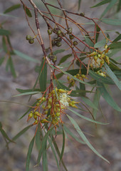 Eucalyptus  x intrasylvatica, Foxes Lair Nature Reserve, Narrogin, WA, 23/03/18 (Russell Cumming) Tags: plant eucalyptus myrtaceae foxeslairnaturereserve narrogin westernaustralia eucalyptusxintrasylvatica eucalyptusaspersaxdorrienii