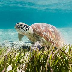 I can see you || Amadee Island (David Marriott - Sydney) Tags: newcaledonia nc turtle sea grass lagoon amadee island green underwater ikelite ocean