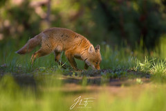 Sur la piste (jlf_photo) Tags: red fox renard roux quebec canada wildlife wild faune sauvage