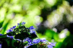 紫陽花 #4ーHydrangea #4 (kurumaebi) Tags: yamaguchi 秋穂 山口市 nikon d750 nature マクロ macro 花 紫陽花 アジサイ hydrangea flower