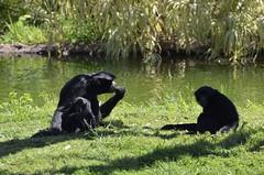 Sipping tea down by the water (vbvacruiser) Tags: virginia norfolk virginiazoo zoo primate siamang tea mammal nikon nikond5100
