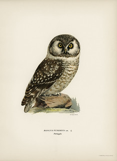 Boreal Owl, Tengmalm's Owl (Aegolius funereus) illustrated by the von Wright brothers. Digitally enhanced from our own 1929 folio version of Svenska Fåglar Efter Naturen Och Pa Sten Ritade.